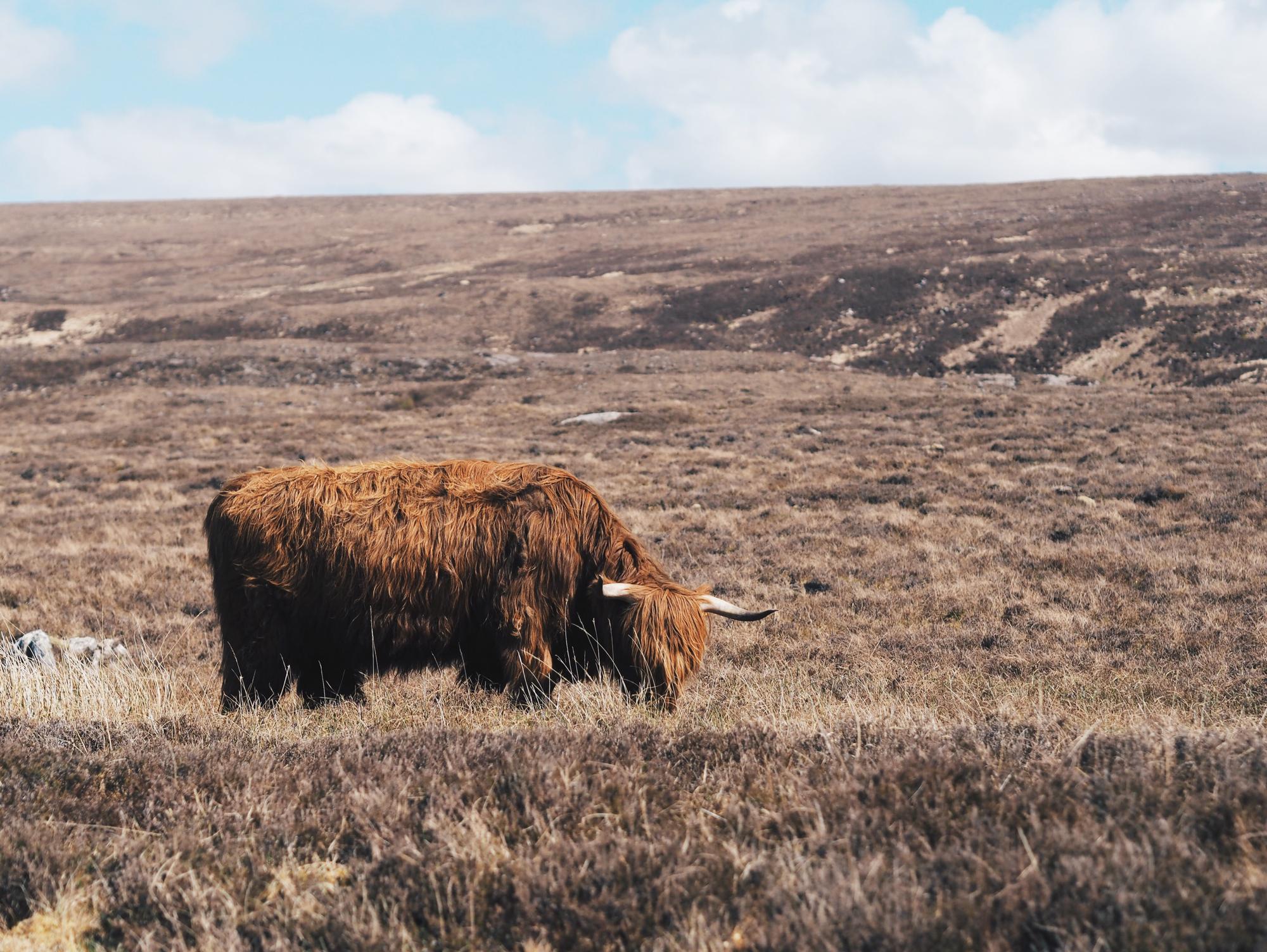 Highland Cow / Tippy.fr